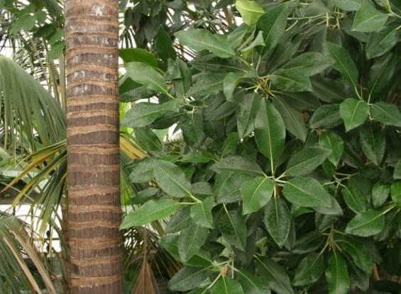 Фікуси – володарі тропічного лісу