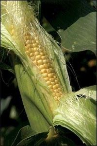 Внимание: западный кукурузный жук