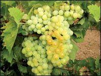 Кормилец-виноград