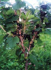 Украшение усадьбы и источник полезных ягод