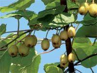 Урожайная лиана