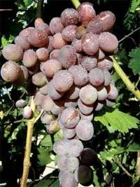 Уютная беседка О преимуществах арочной формировки винограда