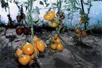Фанатам томатов