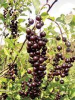 Черемухи гроздья душистые