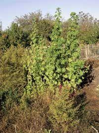 Просвирник — овощная мальва