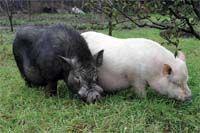 Быть или не бытьвьетнамским свиньям?