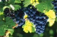 Расти, лоза, большая и маленькая. Стратегия любительского виноградника