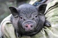 Правила свиноводов