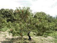 Абрикосы, персики и нектарины
