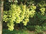 Десять лучших сортов винограда по итогам сезона 2007 года