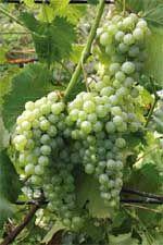 Виноград — проверка холодом