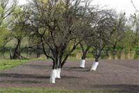 Враг у ворот. Защита плодовых и ягодных растений от галлообразующих клещей