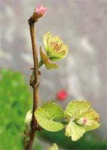 Молодо-зелено: выращивание саженцев винограда в домашних условиях