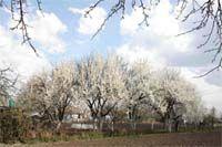 Апрельский мороз не выдавит слез... Спасаем сад от холода!