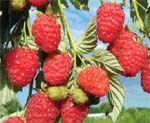 Жизнь замечательных ягод. Итоги сезона-2008