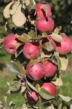 Яблоневые сады интенсивного типа в Польше