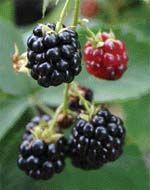 Ежовая ягода для вашего сада
