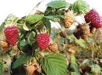Идеальный малинник: удобный и урожайный