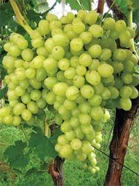 Возьмите лучшие из лучших! Выбираем сорта для любительского виноградника