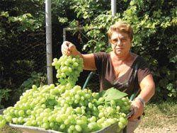 Лозы пленительный изгиб Формировка виноградника на беседке