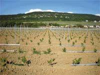 Европейский  виноградник в Крыму