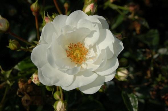 Почвопокровные розы: выращивание, уход, обрезка, лучшие сорта
