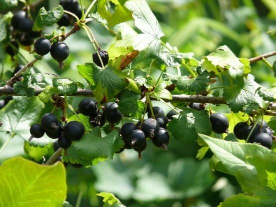 Удивительная йошта: как вырастить полезный и вкусный гибрид?