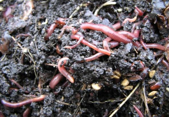 Ґрунтові трудяги: каліфорнійські хробаки для здорового та врожайного городу