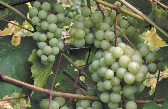 У нього все чудове – і ягоди, і листя: виноград армалага у садибі