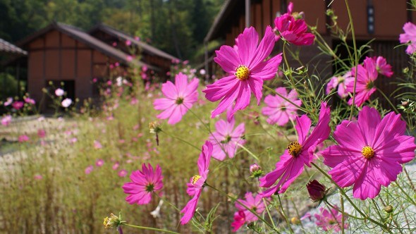 Космея цветы