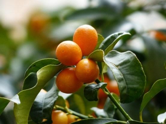 Выращивание кинкана в горшечной культуре