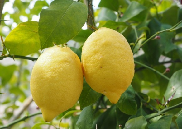 Принц Лимон и его свита: сорта и гибриды лимонов