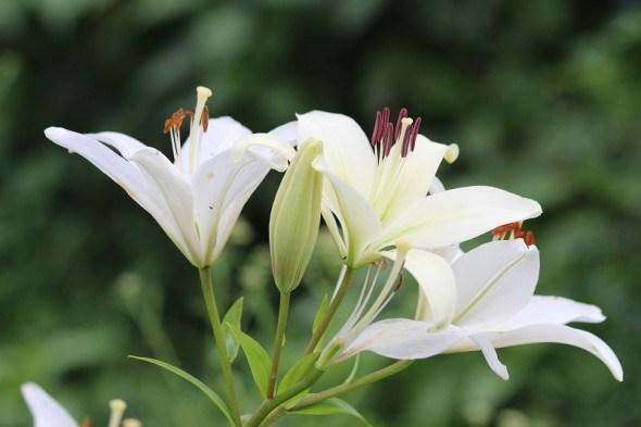 Біліше білого: види та сорти лілій з білим забарвленням квіток