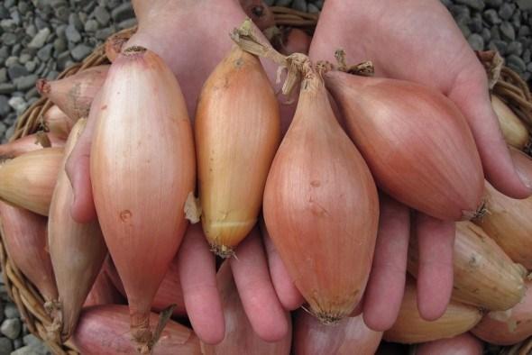 Будемо з цибулею: як отримати повноцінний врожай лише за один сезон