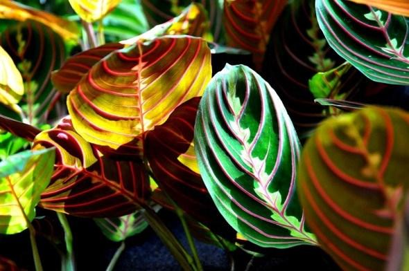 Яркое семейство марантовых: выращиваем растения с декоративными листьями