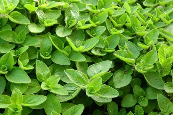 Трава тріумфаторів та коханців: цілющі та харчові властивості садового майорану