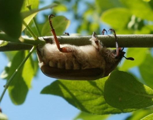Полет хруща: боремся с майским жуком