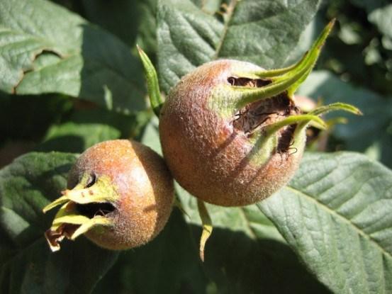 Мушмула германская: история возникновения, способы размножения, полезные свойства
