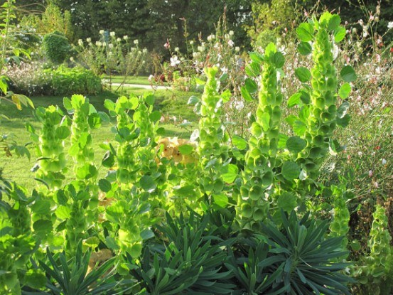 Молюцелла — необычный однолетник: выращивание, размножение, декоративное применение