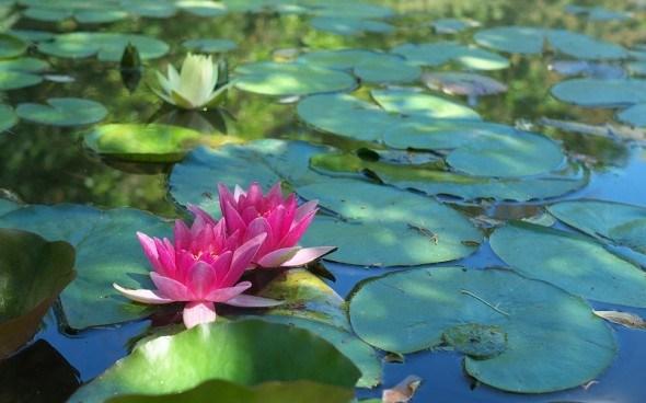 Влаголюбивые и водные лекарственные растения на участке