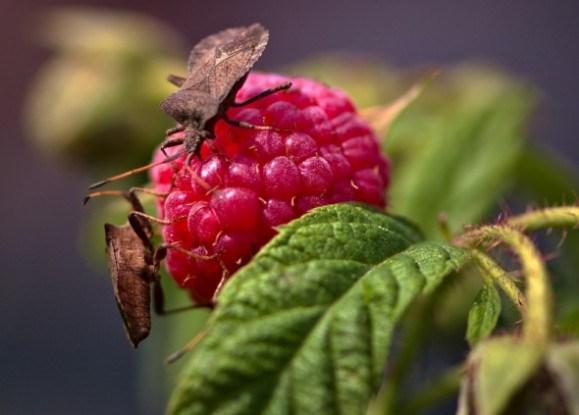Хижаки в малинових хащах: шкідники малини та боротьба з ними