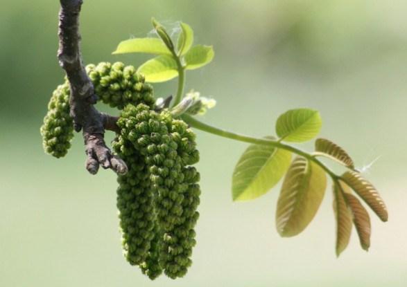 Як особливості цвітіння волоських горіхів впливают на їх урожайність