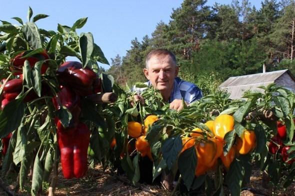 Принади солодкого перцю: нові сорти для гарного врожаю