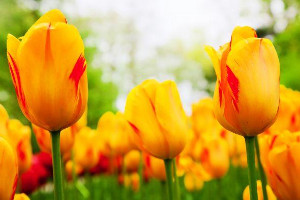 Приблизить наступление весны может ранняя выгонка тюльпанов