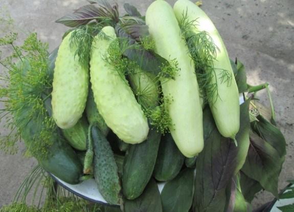 Без зайвої гіркоти: огірки-зеленці китайської селекції