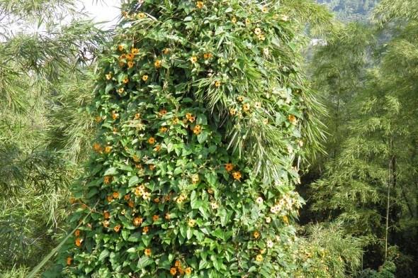 Зелені завіси: однорічні ліани в саду та на городі