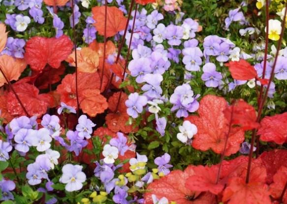 Гейхера: виразна краса в усі пори року