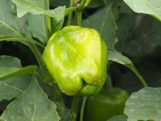 Перец — овощ с характером