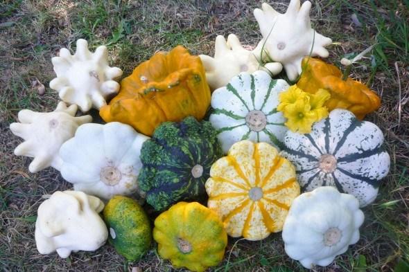 Квітки, пиріжки та морські гребінці: вибираємо сорти красенів-патисонів