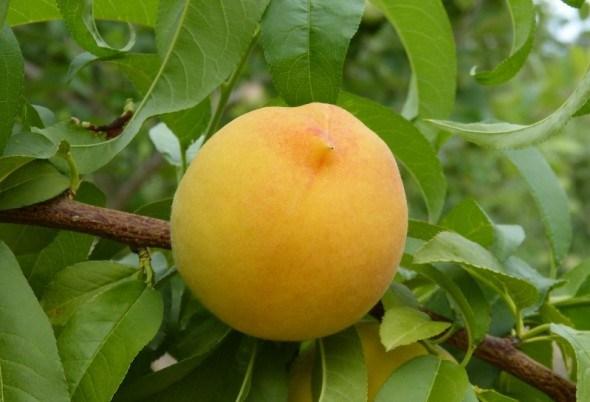 солодкі персики на гіркому мигдалі